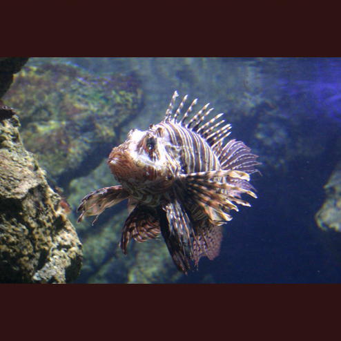LIONFISH, L'AQUARIUM DE BARCELONA